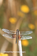 06622-004.04  Widow Skimmer (Libellula luctuosa) female in wetland, Ballard Nature Center, Effingham Co., IL
