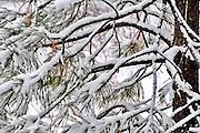 USA, Idaho, Valley County, Tamarack Resort, Snow on branches of pine tree