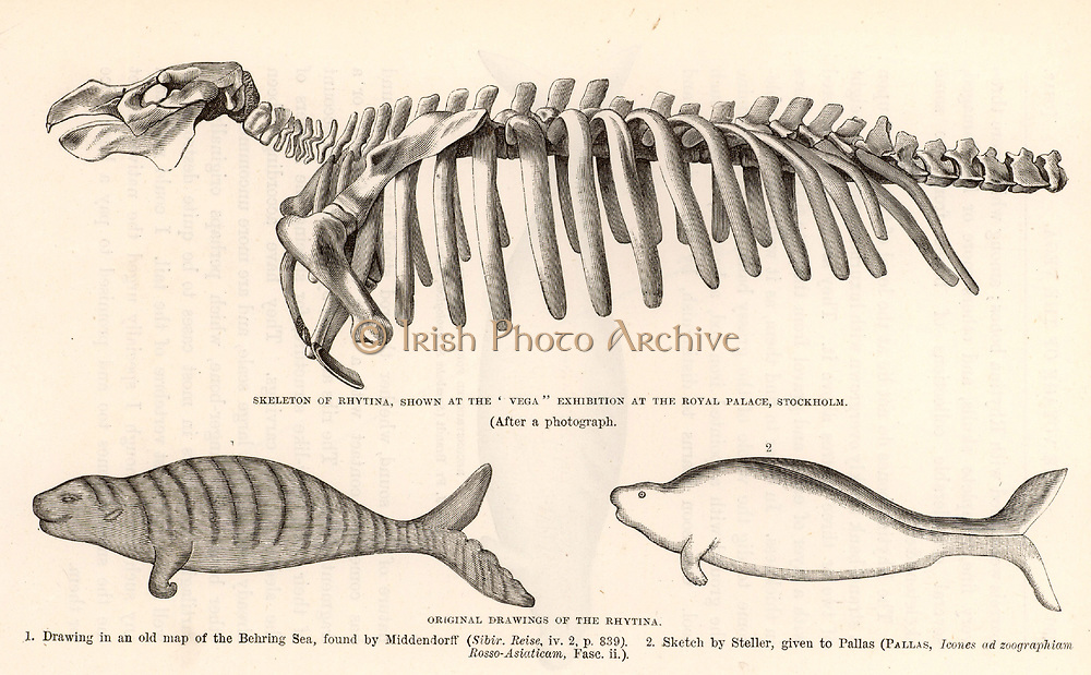Steller's Sea-Cow (Hydrodamalis gigas/Rhytina gigas) a sea-cow almost 6 metres long, discovered by George Wilhelm Steller (1709-1746) on Behring's second  expedition to Kamchatka (1741), now extinct. Top: engraving of the skeleton of the sea-cow. Bottom left: Engraving after an early map of the Behring Sea. Bottom right: Engraving of Stellar's sketch.