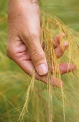 Hand touching Stipa tenuissima