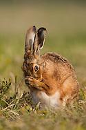 European Hare (Lepus europaeus) adult female, pregnant, cleaning itself on grass track, farland, Norfolk, UK.