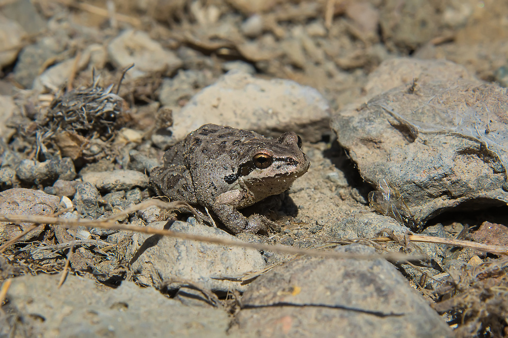 Unusual as it sounds, this Pacific treefrog was found under a rock in a sagebrush desert in Central Washington as I was looking for snakes and scorpions. While normally associated with damp forests, this highly adaptable amphibian can be found from sea level to alpine mountain habitats, and is very common in the Pacific Northwest. Considered a keystone species, their abundance in the wild is important to many other species that rely on the Pacific treefrog as a food source.
