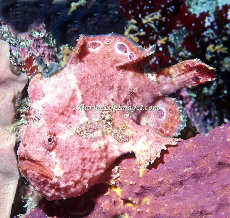 Longlure Frogfish inhabit coral reefs, often change color to blend with sponges in Tropical West Atlantic; picture taken Belize.