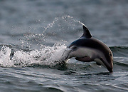 A dolphin leaps out the Atlantic ocean in Table Bay, Cape Town, South Africa.