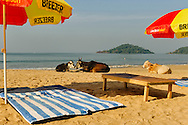 Three cows sunbathing on Palolem beache, Goa, India