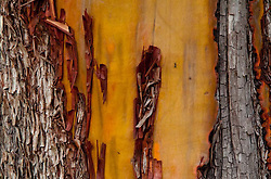 Madrona (Arbutus menziesii) Bark Detail, Jones Island, San Juan Islands, Washington, US