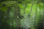 A drop of water with a green forest reflection. Oregon. © Michael Durham / www.DurmPhoto.com.