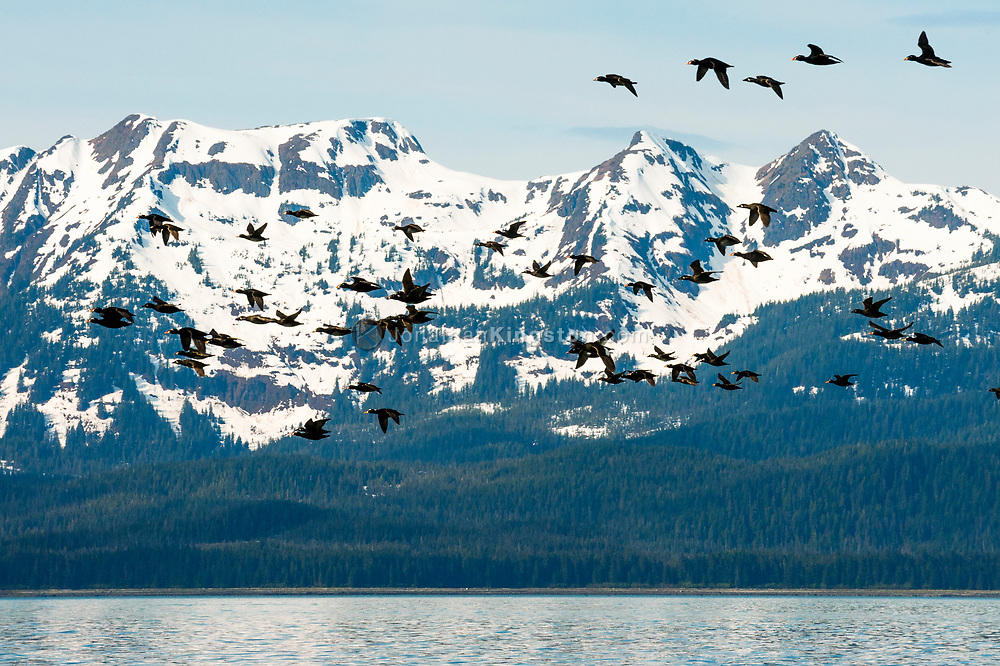 A flock of Surf Scoters (Melanitta perspicillata) flying near Juneau.
