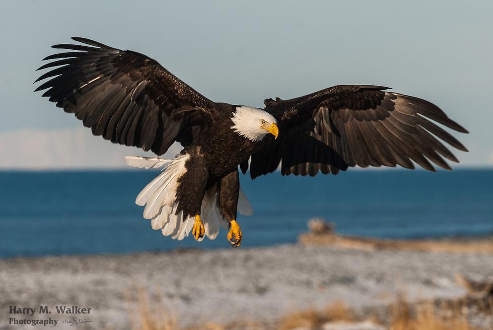 Bald eagle (Haliaeetus leucocephalus); abouts to land on beach; Homer Spit; Southcentral Alaska
