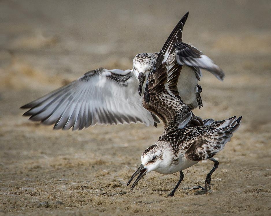 Calidris alba, winter, fighting over food