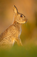 European Rabbit (Oryctolagus cuniculus)  adult alert on hind legs in wheat field, South Norfolk, England, April.