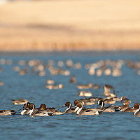 raft of pintail ducks among many other ducks on pond with brown marsh background