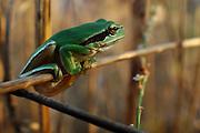 Israel, Hyla arborea, European tree frog