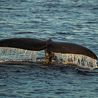 A North Atlantic right whale (Eubalaena glacialis) diving to feed in the Gulf of Saint Lawrence, Canada. IUCN Status: Endangered