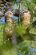2016 Great Horned Owlets (bubo virgianus) sitting together in tree shortly after fledge at Twin Lakes, Boulder County, Colorado