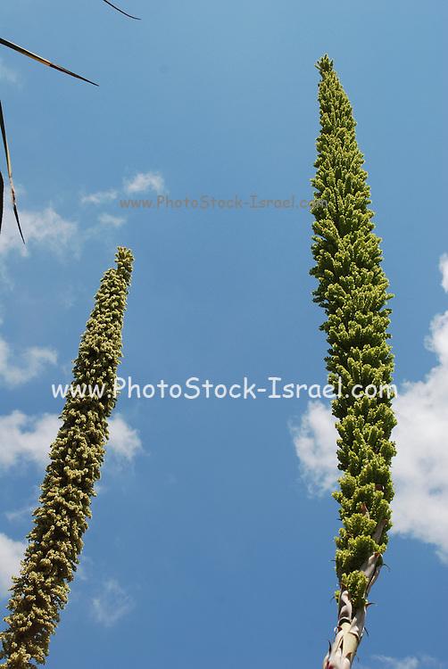 flowering Dasylirion serratifolium