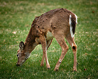 Scruffy Deer. Image taken with a Nikon D5 camera and 80-400 mm VRII lens (ISO 320, 400 mm, f/5.6, 1/400 sec).