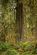 A western redcedar (Thuja plicata) with sword ferns in old growth forest, Eagle Fern Park, Clackamas, Oregon.