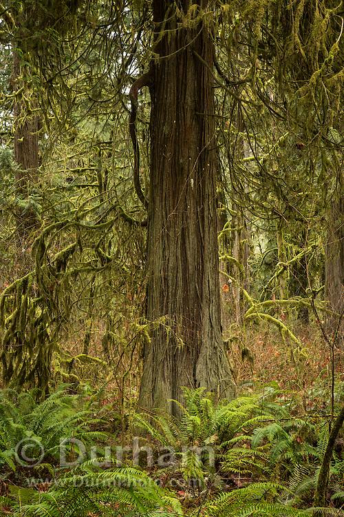 A western redcedar (Thuja plicata) with sword ferns in old growth forest, Eagle Fern Park, Clackamas, Oregon.