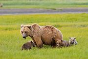Alaskan Brown Bear sow and cubs, Ursus middendorffi, grazing in meadow, Katmai National Park, Alaska