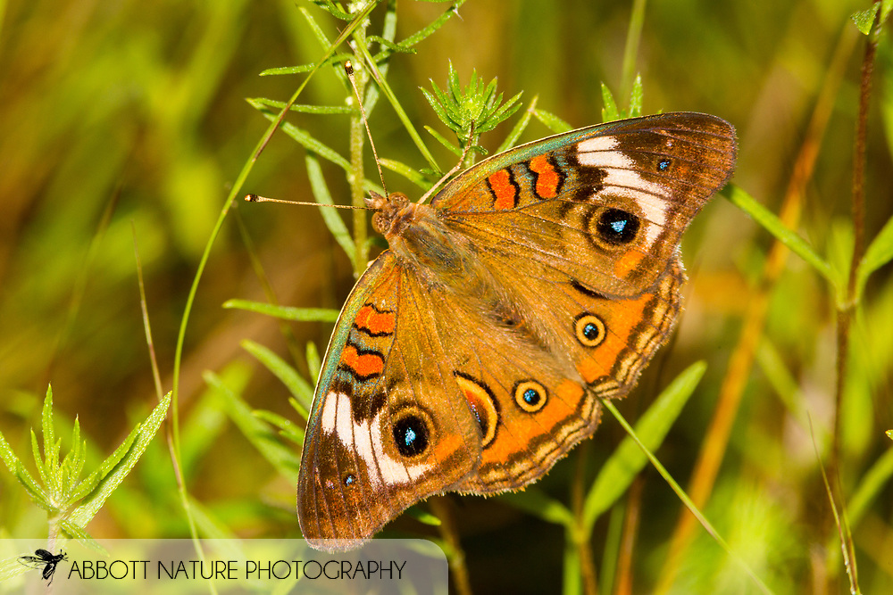 Common Buckeye - Hodges#4440 (Junonia coenia)<br /> United States: Texas: Lamar Co.<br /> Camp Maxey National Guard, Powderly<br /> 25-Aug-2017<br /> J.C. Abbott #2979