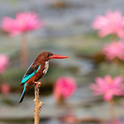 The white-throated kingfisher (Halcyon smyrnensis) also known as the white-breasted kingfisher is a tree kingfisher, widely distributed in Asia