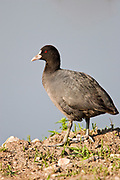 Eurasian Coot (Fulica atra) near water Photographed in Israel in March