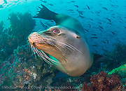 A Galapagos Sea Lion, Zalophus wollebaeki, plays in the shallows of a coral reef in the Galapagos Islands, Ecuador.