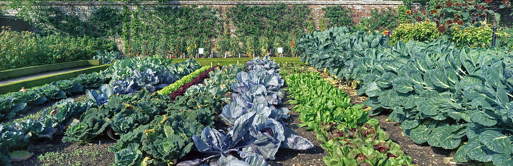 Vegetable beds in the Vegetable Garden including rows of brassicas, lettuce and tomatoes trained on canes at West Dean Gardens, West Sussex, England