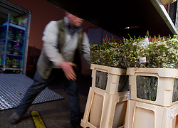 © Licensed to London News Pictures. 08/03/2013.Nottingham, UK. Florists in Nottingham buy stock at 5am at Flower Vision ready for Mothers Day. Fresh flowers are delivered from Holland every morning at the flower warehouse. Photo credit : Tom Maddick/LNP
