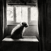 Miniature labradoodle dog sitting patiently by an open window