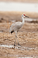 Bosque del Apache National Wildlife Refuge, New Mexico, Sandhill Crane (Grus canadensis)