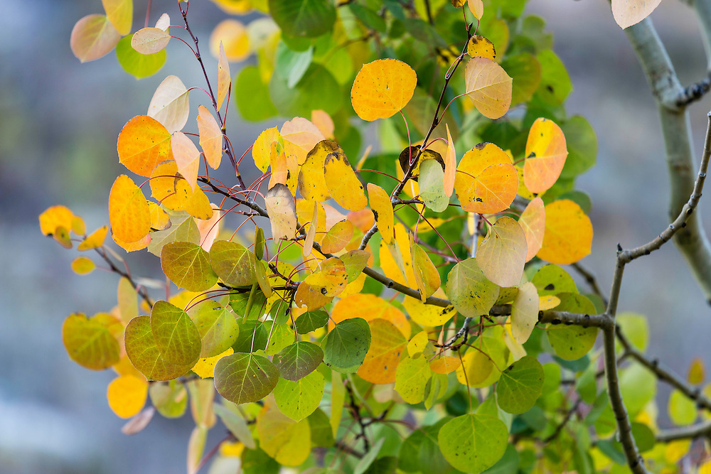 Yellow and green aspen leaves cling on to the remaining Fall days in Utah's Little Cottonwood Canyon.