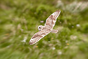 "The Short-eared Owl (Asio flammeus) is a species of typical owl (family Strigidae). Owls belonging to genus Asio are known as the eared owls, as they have tufts of feathers resembling mammalian ears. These ""ear"" tufts may or may not be visible."