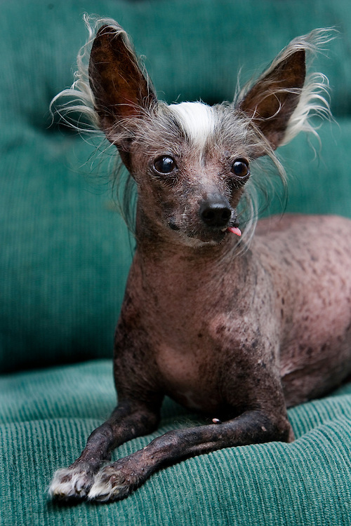 """(PETS) Wanamassa 3/7/2006  """"Lola"""" a hairless Chinese Crested owned by Lisa Lemig, 1321 Spruce Ave Wanamassa section of Ocean Twp (732) 774-1321.  """"Lola"""" is 10 1/2 years old.   Michael J. Treola Staff Photographer........MJT"""