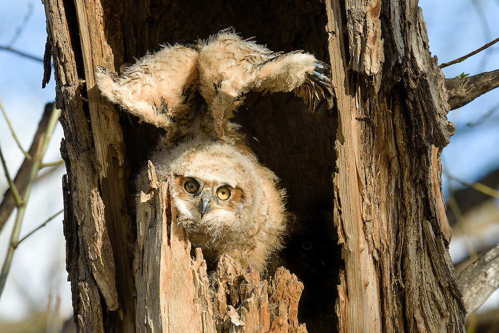 Great Horned Owlet stretching wings, Twin Lakes Open Space, Boulder County, Colorado