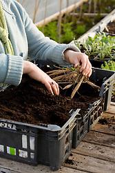 Planting dahlia tuber into shallow trays