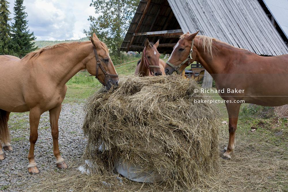 Three horses feed on fresh hay on a small Polish farm, on 20th September 2019, in Biala Woda, Jaworki, near Szczawnica, Malopolska, Poland.