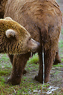USA, Vereinigte Staaten Von Amerika: Grizzlybär (Ursus arctos horribilis), Männchen riecht an dem Urin eines Weibchens während es uriniert, Katmai Nationalpark, Alaska | USA, United States Of America: Brown bear (Ursus arctos horribilis), male sniffing the urine of a female while she is urinating, Katmai National Park, Alaska |