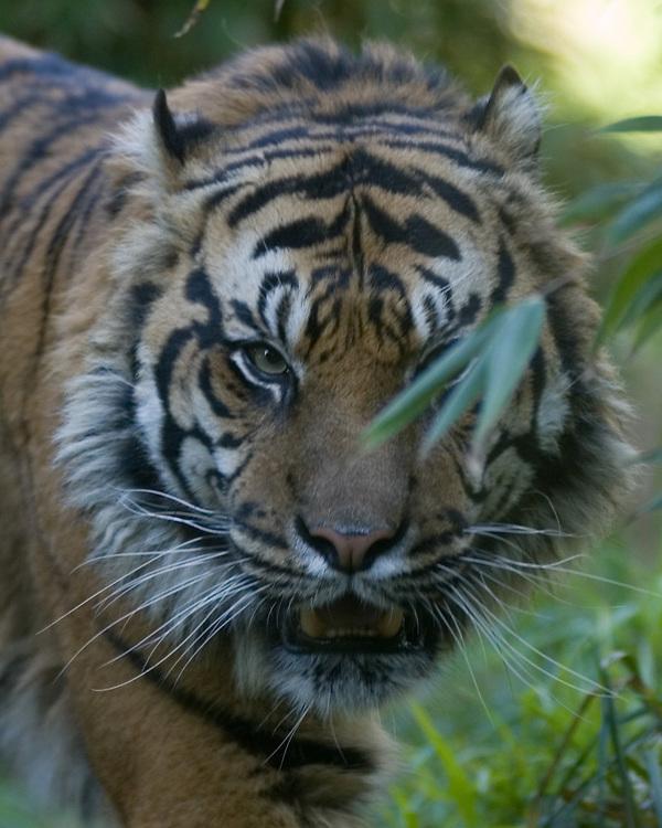 Tiger at Wellington Zoo,  New Zealand, 2012. Credit:SNPA / John Cowpland