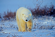 Polar bear walking across the frozen tundra<br />Churchill<br />Manitoba<br />Canada