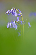 Bluebell - Hyacinthoides non-scripta