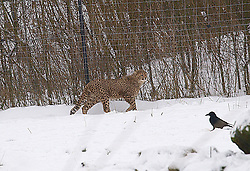 A cheetah keeps an eye on a bird in its pen  in the snow at Whipsnade zoo, UK, Wednesday Jan 23, 2013.  Photo by Max Nash / i-Images.