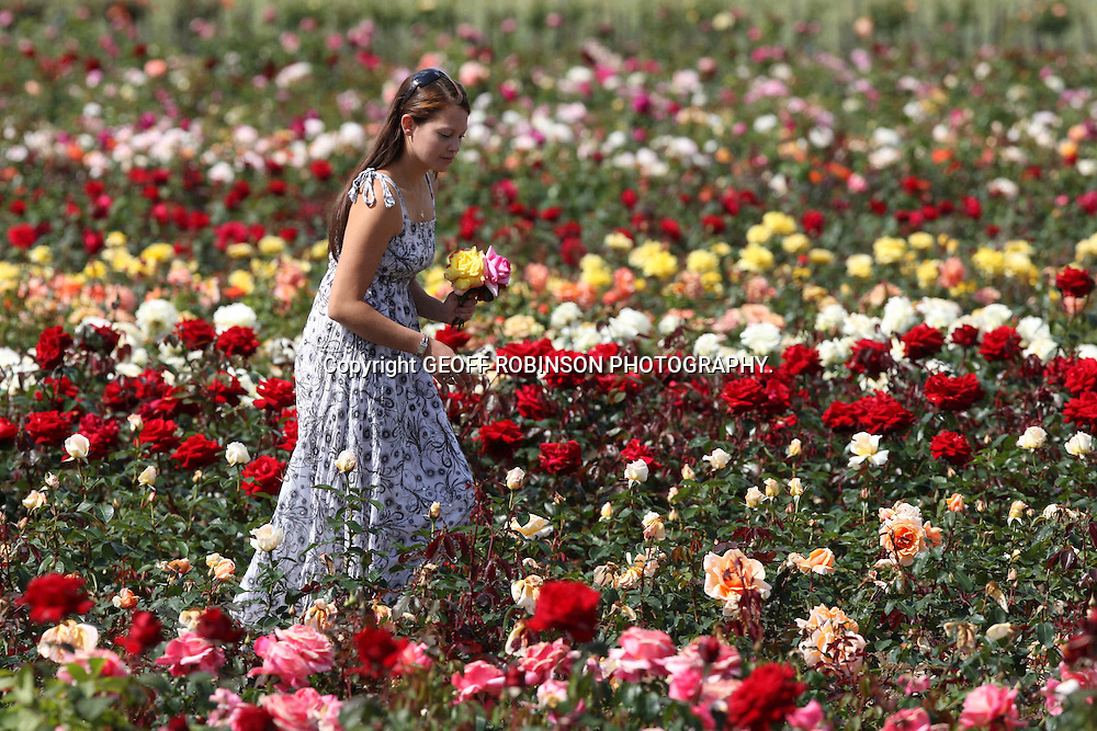 "PIC SHOWS EMMA NICOLL,24,FROM COLCHESTER,ON TUESDAY MORNING (JUNE 14) PICKING ROSES AT CANTS FARM,NEAR COLCHESTER,ESSEX... The OLDEST rose growers in Britain are celebrating after the hot sunny weather caused their bumper crop of flowers to bloom an incredible THREE WEEKS early...Cants Roses, which were established in 1765, say it is the best year for roses in living memory and the earliest their field of flowers has blossomed in 35 YEARS...Owner Roger Pawsey says the long sunny days have made this year's crop of roses more vibrant and colourful than he can ever remember...""It's an absolutely fantastic year for roses as they are out early and the sun has made the colours really vibrant and intense,"" said Roger, who runs the 245-year-old business with his sister Angela and brother Martin...""It's hard to remember a season that was so early but I think it must have been in 1976 when we had another hot, dry summer...SEE COPY CATCHLINE Bumper rose crop 3 weeks early."