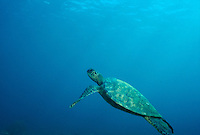 Green Sea Turtle swimming underwater.