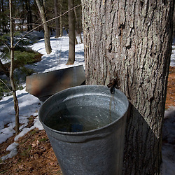 Sap buckets on a sugar maple in Barrington, New Hampshire.