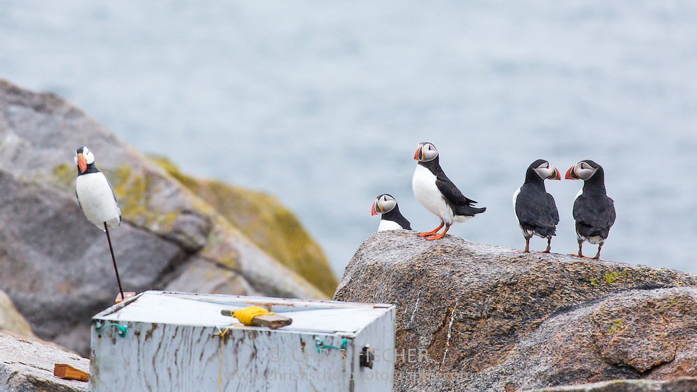 Atlantic Puffins (Fratercula arctica) perch near a decoy on Seal Island, Maine. Decoys played an important role in the successful reintroduction of Puffins to the island through Audubon's Project Puffin.