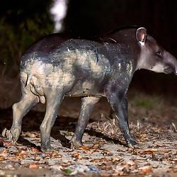 Ungulados (Antas, porcos-do-mato, cervos, cavalos) - Perissodactyla, Artiodactyla e Proboscidea