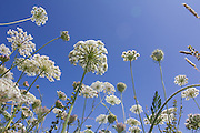 Umbellifer canopies springing skyward. Dorset, UK.