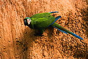 Chestnut-fronted Macaw on Clay Lick<br />